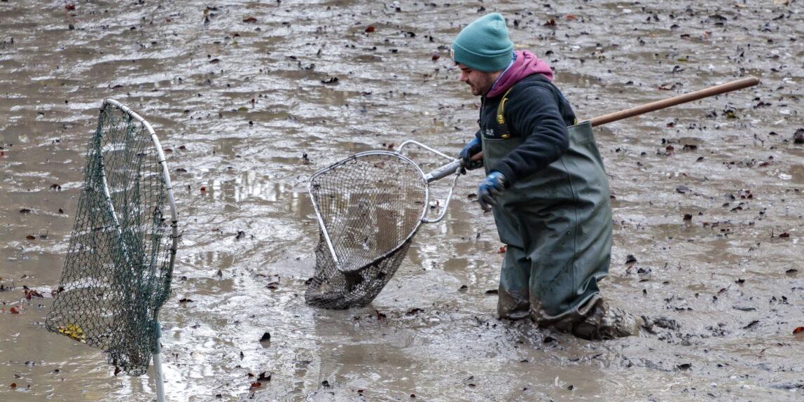 Teichsanierung Lilienteich, für den Kammmolch